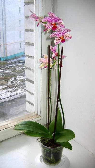 Орхидея фаленопсис уход в домашних условиях фото и видео