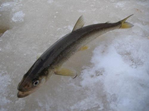 корюшка сибирская рыбалка