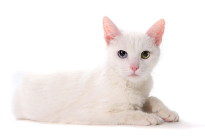 The Cat Collection №15 Ангорская белая кошка Фото